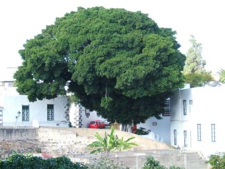 San Francisco - Sehr alter Baum! - San Francisco