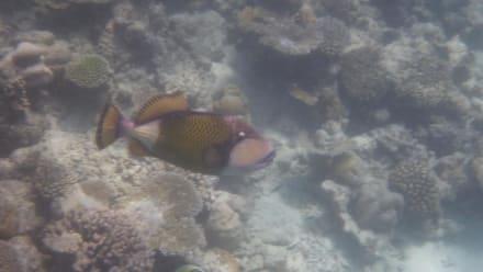 Drückerfisch - Schnorcheln Ari Atoll