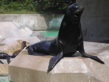 Seelöwe - Tierpark Hellabrunn