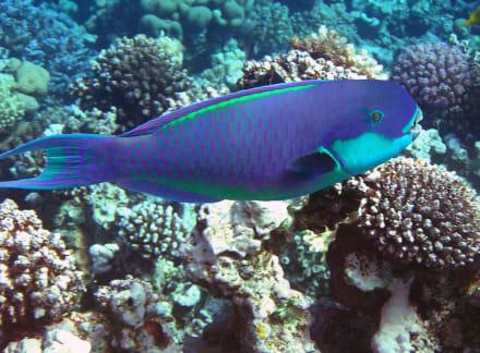 Papageifisch - Schnorcheln Makadi Bay