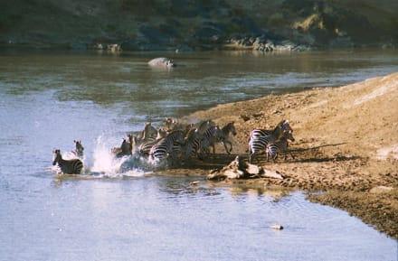 Zebras am Mara River - Masai Mara Safari