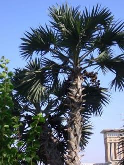 Palmen... - Botanischer Garten Assuans - Kitchener Island