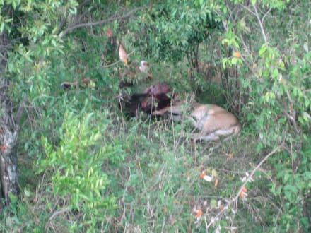 Löwen nach erfolgreicher Jagd - Masai Mara Safari