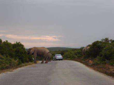 Elefanten - Addo Elephant Park
