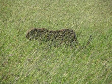 Leopard - Masai Mara Safari