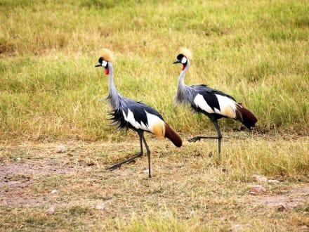 Im Gleichschritt -marsch - Amboseli Nationalpark