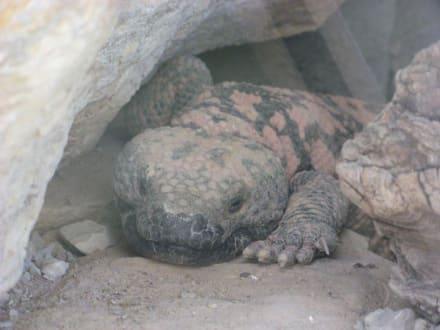Gila Monster im Living Desert Zoo, NM - Living Desert Zoo and Gardens State Park
