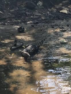 Waran Flussfahrt Bentotasc - Bentota Fluss- und Mangroven Tour