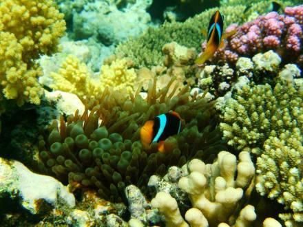 Nemo.. - Tauchen Makadi Bay