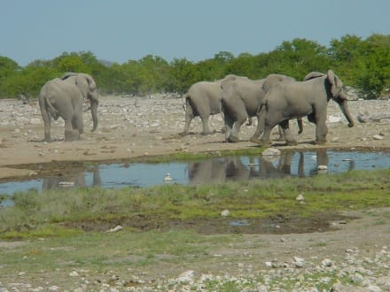 Elefanteni im Etosha Nationalpark - Etosha Nationalpark
