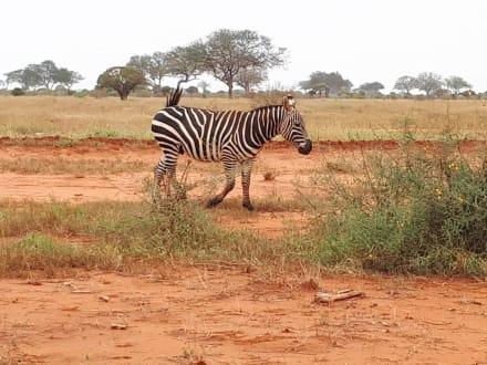 Zebra - Tsavo Ost und West Safari