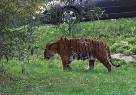 Tiger - Natura Viva Park