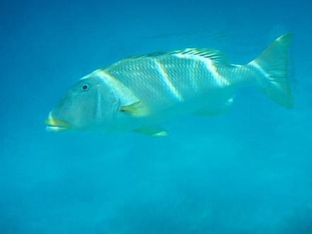Frischer Fisch - Schnorcheln Sharm el Sheikh