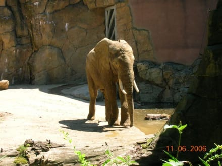 Elefant - Zoo Duisburg
