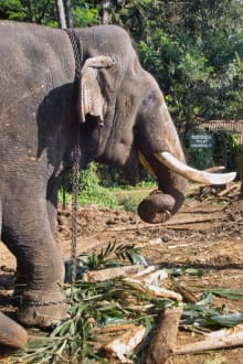 Elefant auf dem Weg zur Badestelle - Elefantenwaisenhaus Pinnawela