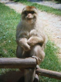 Äffchen auf der Stange - Affenberg