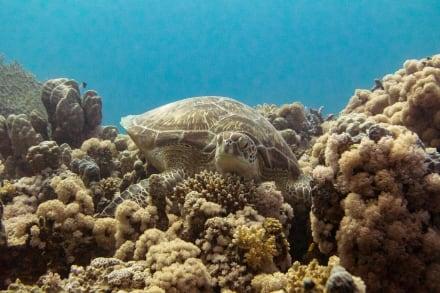 Schildkröte - Schnorcheln Coraya Bay Marsa Alam