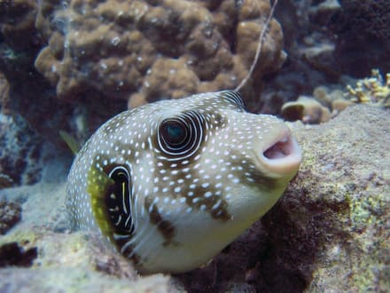 Fisch am Hausriff Hotel Magic Life Kalawy Imperial - Tauchen Safaga
