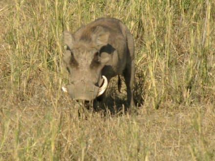 Warzenschwein - Kimana Reservat