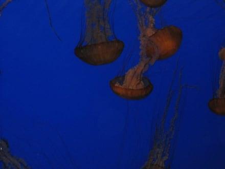Quallen - Monterey Bay Aquarium