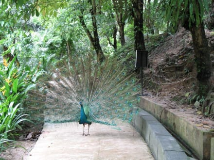 Pfau im Vogel Zoo - Kuala Lumpur Vogelpark