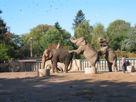 Elefanten - Zoo Krefeld