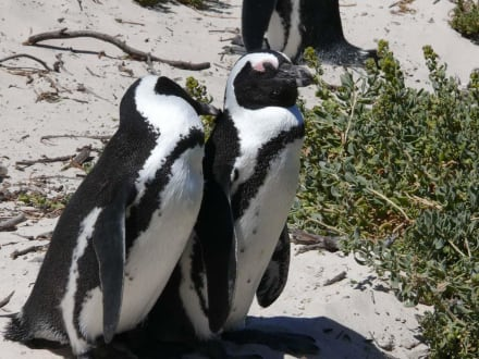 Pinguine - Boulders Beach