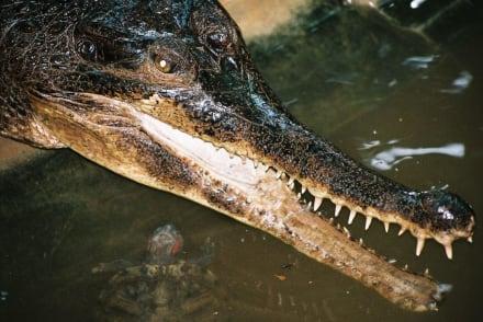 Krokodil - Colombo Zoo