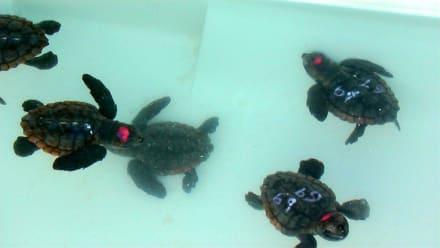 Schildkröten - Strand Jandia