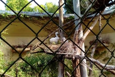 Weiße Löffler - Zoo Augsburg