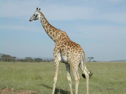 Giraffe in der Serengeti - Serengeti Nationalpark