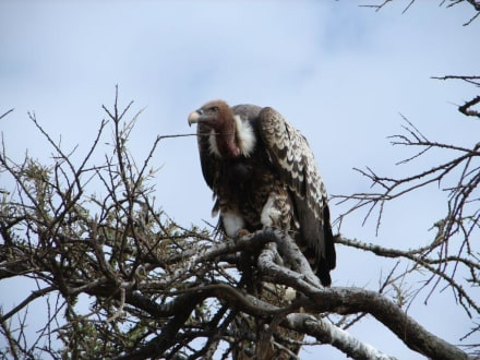 Geier - Masai Mara Safari