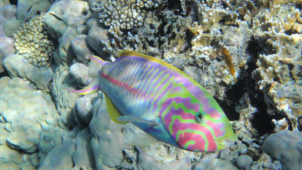Fish - Sharm el Sheikh Diamond Beach