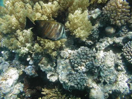 Rotes Meer, Brauner Segelflossendoktor - Tauchen Makadi Bay