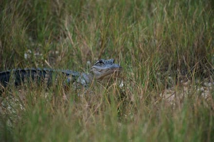 Junger Alligator - Everglades National Park