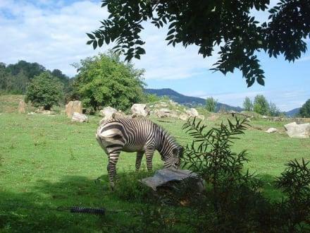 Zebra - Tierwelt Herberstein