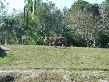 Tieger - Zoo Miami