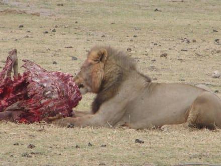 Löwe beim Frühstück - Amboseli Nationalpark