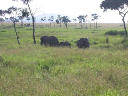 Elefanten in der Massai Mara - Masai Mara Safari