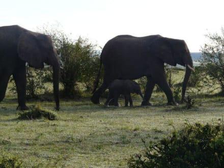 Elefanten mit ihrem Kleinen - Masai Mara Safari