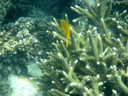 Koralle mit gelber Demoiselle - Schnorchel-Bootstour Kon Tiki Koh Chang