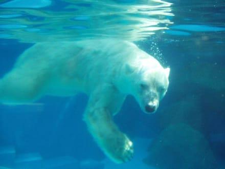 Eisbär - Singapur Zoo