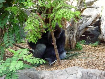 Loro Park - Tiere - Gorilla - Loro Parque