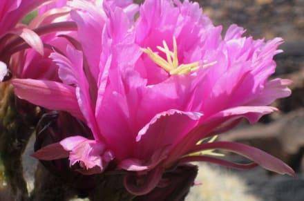 Kaktusblüte - Jardin de Cactus / Kaktusgarten Guatiza