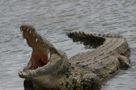 Krokodil im Mara-River - Masai Mara Safari