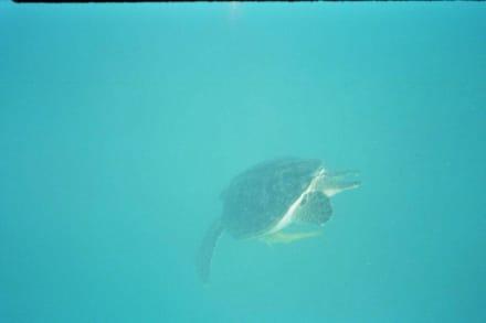 Schildkröte beim abtauchen  - Schnorcheln Marsa Alam