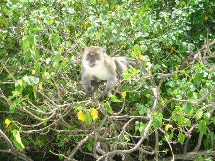 diverse Affen - Monkey Island