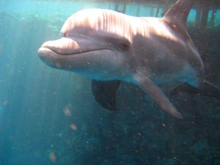 Der Hausdelphin - Tauchen Marsa Alam