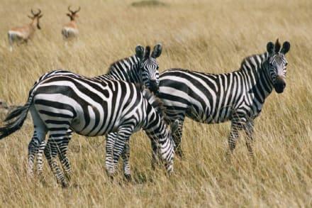 Zebra - Masai Mara Safari