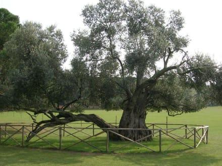1600 Jahre alter Olivenbaum - Nationalpark Brijuni Inseln